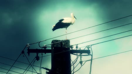 ciconiidae : 4K European White Stork Ciconia Ciconia on top of an electric pole - Migrant Long Peaked and Legged Bird Stock Footage