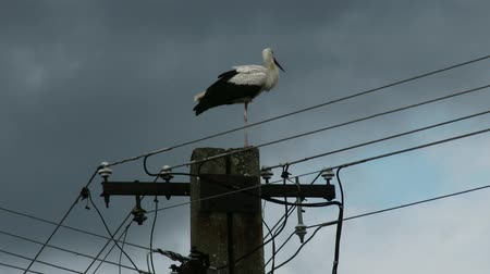ciconiidae : European White Stork Ciconia Ciconia on top of an electric pole - Migrant Long Peaked and Legged Bird