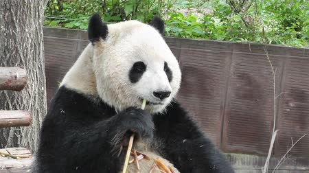 animais em extinção : Giant Panda Ailuropoda Melanoleuca in Chengdu Sichuan China, Panda eating - its diet is mostly bamboo and due to deforestation is an animal threat by extinction.