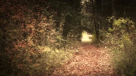 deep forest : Forest Road Late Fall Autumn Stock Footage