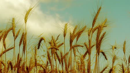buğday : 4K Lush Summer Wheat Field - Agricultural concept, farming and food production.