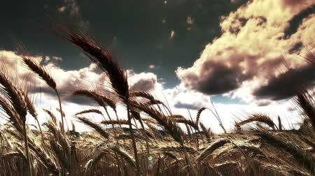 fantasia : 4K Lush Summer Wheat Field in a Fantasy Mysterious Stlye - Agricultural concept, farming and food production. Vídeos