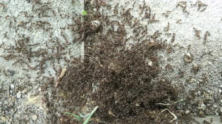 birleşik : 4K Super Busy Ant Workers Found Some Food Closeup Stok Video
