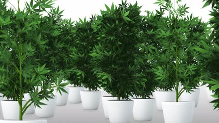 produced : Cannabis Plants 3D Animation 2