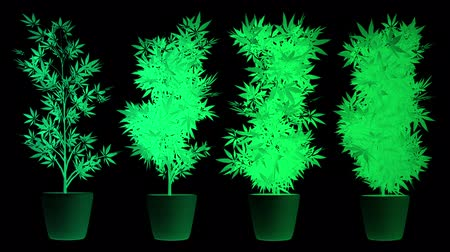 produced : Cannabis Plants in Abstract Lights 3D Animation Stock Footage