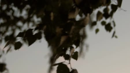 Birch leaves on a sunset background Stok Video