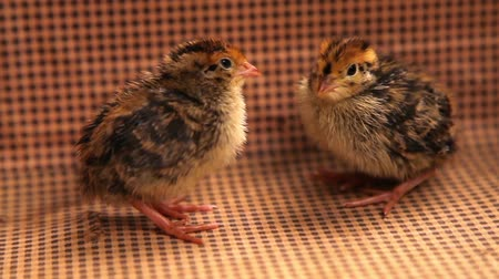 Young quails on wooden background Stok Video