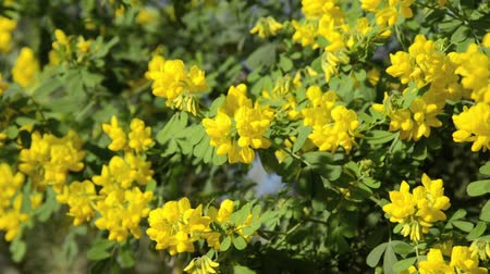arveja : Veza Scorpion (Coronilla valentina subsp. Glauca) Archivo de Video