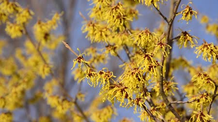 avelã : Witch hazel (Hamamelis x intermedia) Stock Footage