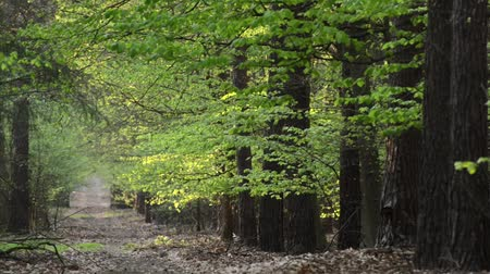 european beech : Forest path in spring Stock Footage