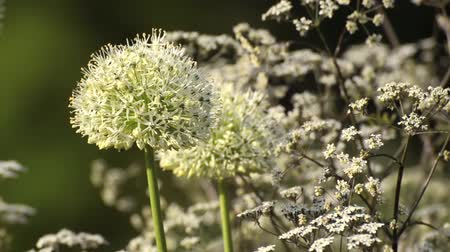 sjalot : Perzische sjalot (Allium stipitatum 'Mount Everest') en wilde kervel (Anthriscus sylvestris 'Ravenswing')