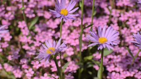 compositae : Alpine aster (Aster alpinus) Stock Footage