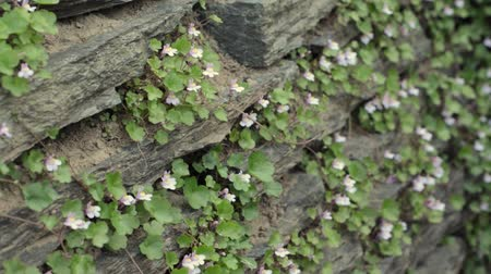 pared : Toadflax hiedra de hoja (muralis Cymbalaria) Archivo de Video