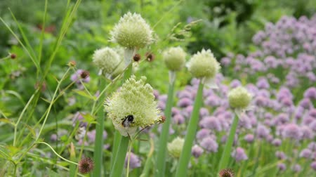 warzywa : Welsh onion (Allium fistulosum) and bumble bee (Bombus) Wideo