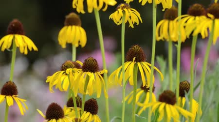 compositae : Yellow cone flower (Echinacea paradoxa) Stock Footage