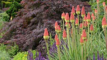 kevert faj : Torch lilies (Kniphofia) and sages (Salvia)