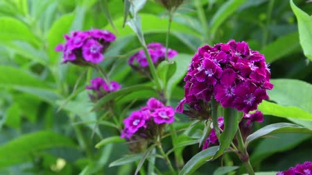 barbatus : Sweet William (Dianthus barbatus)