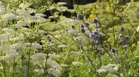 devedikeni : Mediterranean sea holly (Eryngium bourgatii) and Ligusticum lucidum