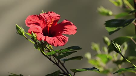 rosa sinensis : Chinese hibiscus (Hibiscus rosa-sinensis) Stock Footage