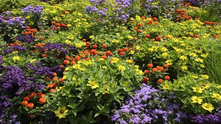 pans : Narrowleaf zinnia (Zinnia angustifolia) and floss flower (Ageratum houstonianum)