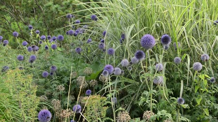 compositae : Globe thistle (Echinops), ornamental onion (Allium) and Chinese silver grass (Miscanthus)