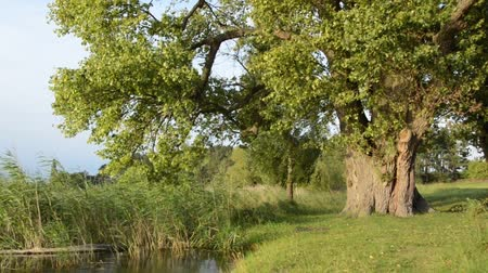 populus : Poplar (Populus) at Lake Feisnecksee, Mueritz National Park, Germany Stock Footage