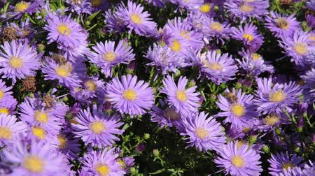 compositae : Bushy aster (Aster dumosus Blaue Lagune) and bees (Apis)
