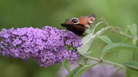 inachis io : Common butterfly bush (Buddleja davidii) and peacock butterfly (Inachis io)