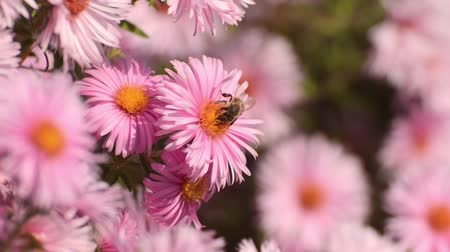 compositae : New England aster (Aster novae-angliae Rosa Sieger) and bee (Apis) Stock Footage
