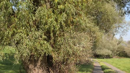 lower part : White willow (Salix alba) at an agricultural road, Lower Oder Valley National Park, Germany Stock Footage
