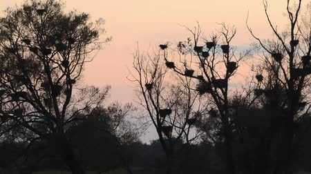 lower part : Abandoned cormorant nests on dead trees, Lower Oder Valley National Park, Germany