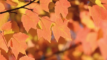acer : Red maple (Acer rubrum) Stock Footage