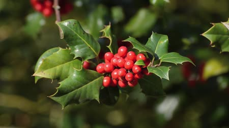 падуб : Common holly (Ilex aquifolium)