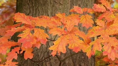 dub : Northern red oak (Quercus rubra)