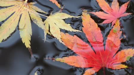 acer : Maple leaves in the water