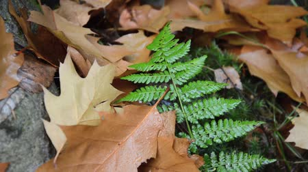 kapradina : Fern with oak leaves