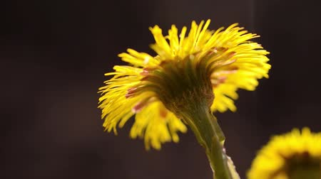 compositae : Coltsfoot (Tussilago farfara) Stock Footage