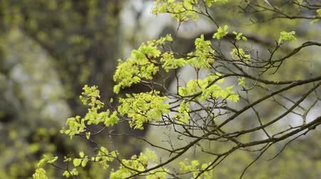 acer : Norway maple (Acer platanoides) Stock Footage