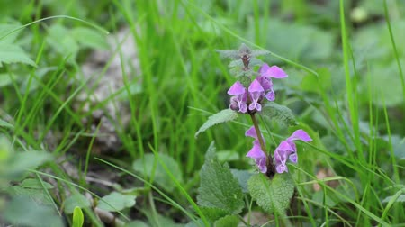 ısırgan otu : Spotted dead nettle (Lamium maculatum) Stok Video