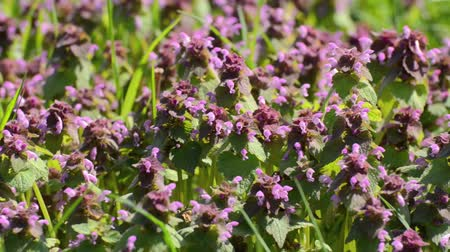 ısırgan otu : Red dead nettle (Lamium purpureum) Stok Video
