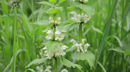 ısırgan otu : White dead nettle (Lamium album) Stok Video