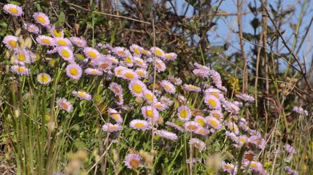 compositae : Seaside daisy (Erigeron glaucus) Stock Footage