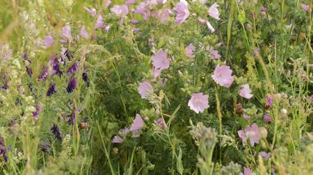 musk mallow : Tufted vetch (Vicia cracca) and musk mallow (Malva moschata) Stock Footage