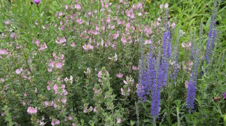 kevert faj : Field restharrow (Ononis arvensis) and common speedwell (Veronica officinalis)