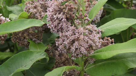 silkweed : Common milkweed (Asclepias syriaca) and bees (Apis)