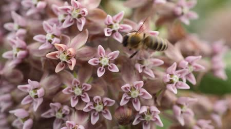 silkweed : Common milkweed (Asclepias syriaca) and bee (Apis)