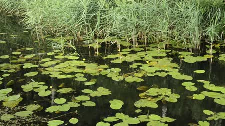 kevert faj : Yellow pond lily (Nuphar lutea) and common reed (Phragmites australis)