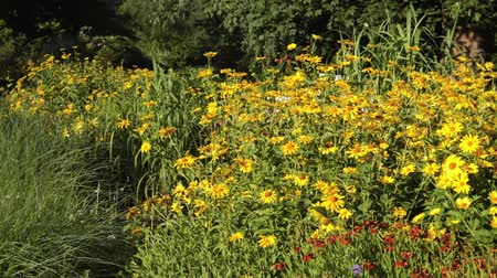 compositae : False sunflower (Heliopsis helianthoides)