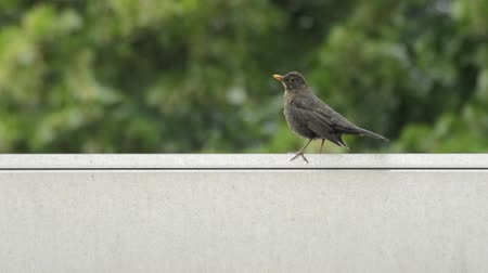 turdus merula : Common blackbird (Turdus merula) on roof