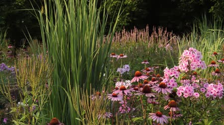 compositae : Purple cone flower (Echinacea purpurea Rubinstern) and garden phlox (Phlox paniculata)